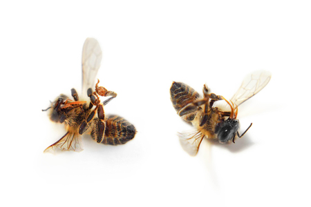 Dead bees on white background Imagens