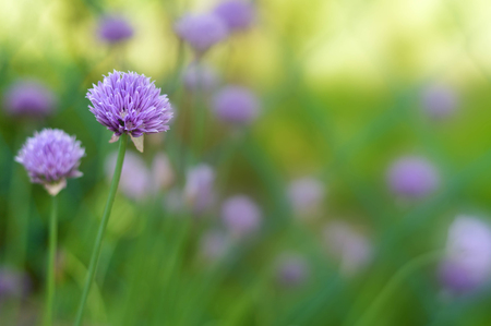 Chive flowers in the garden