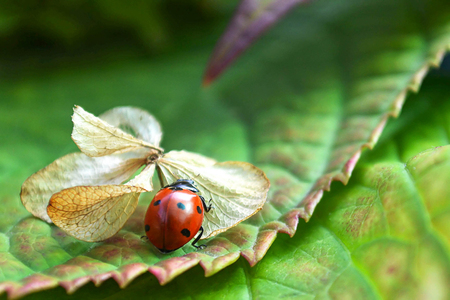 Ladybug on dry hydrangea flower Imagens