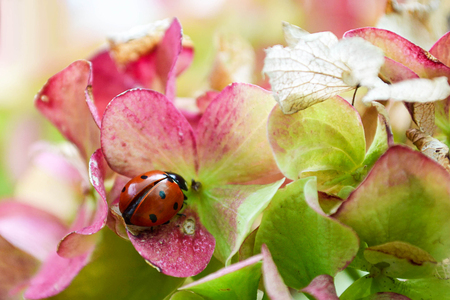 Ladybug on hydrangea flower