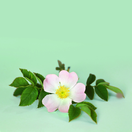 Dog rose flower on green background with copy space Imagens