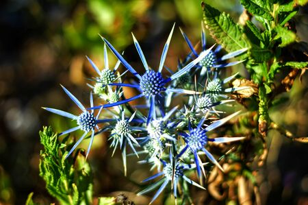 Close up of sea holly or blue eringo plant