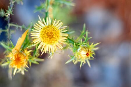 Carlina vulgaris or Carline thistle