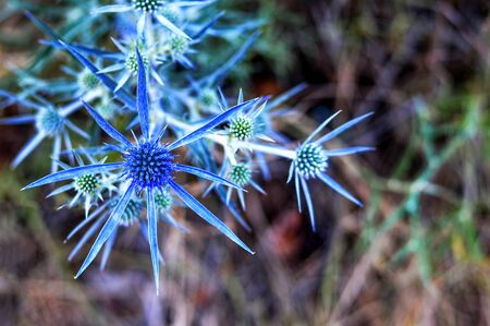Top view of sea holly or blue eringo plant 写真素材