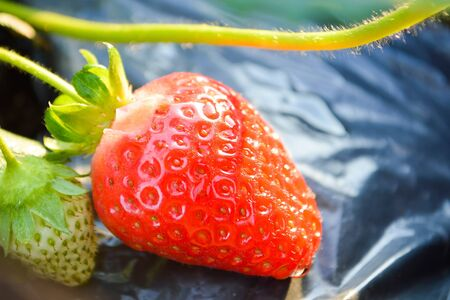 Close up of fresh strawberry in the garden