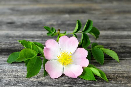 Close up of dog rose on wooden background