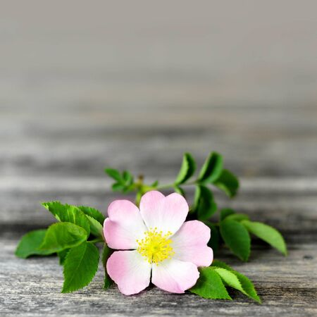 Mothers Day background. Dog rose flower on wooden background with copy space 写真素材