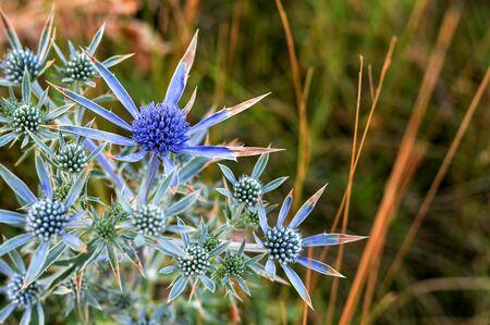 Sea holly or blue eringo flower