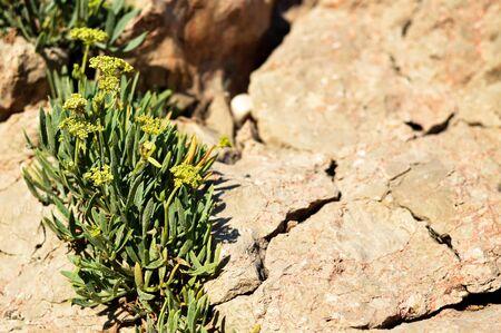 Rock samphire or sea fennel plant 스톡 콘텐츠