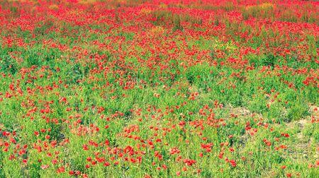 Poppy field in a full bloom 스톡 콘텐츠
