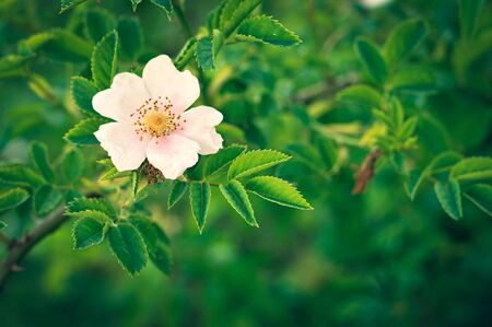 Close up of dog rose flower. Blooming wild rose