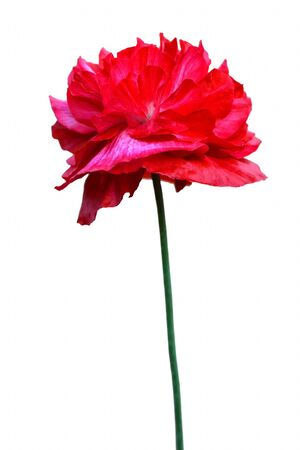 Red poppy isolated on white background 写真素材