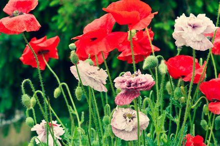 Poppies blooming in the garden
