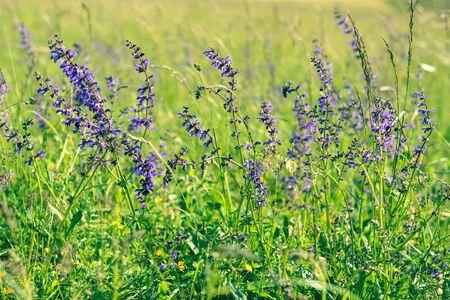 Meadow sage or salvia flowers in field