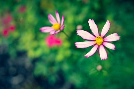 Cosmos flower in the garden 스톡 콘텐츠