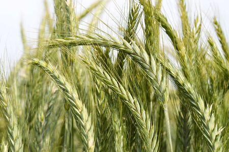 Close up of barley field 스톡 콘텐츠
