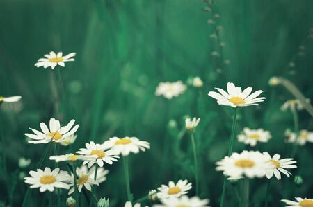 Daisy flowers in the field 스톡 콘텐츠