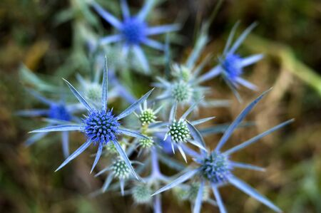 Sea holly thistles or blue eringo flower plant