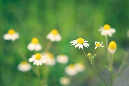 Chamomile flowers in the field