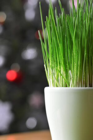 Green Christmas wheat in pot