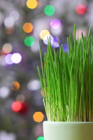 Growing green Christmas wheat in pot