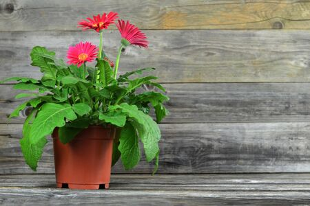 Gerbera daisy in pot on wooden background