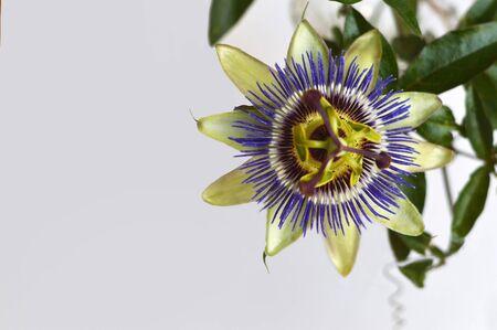 Fleur de la passion bleue se bouchent