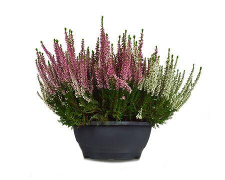 Heidekraut Blumen im Blumentopf isoliert auf weißem Hintergrund Standard-Bild