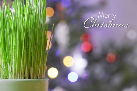Christmas card with green wheat in pot