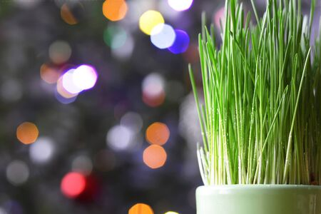 Christmas green wheat in pot Stock Photo
