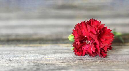 在木背景的红色康乃馨花