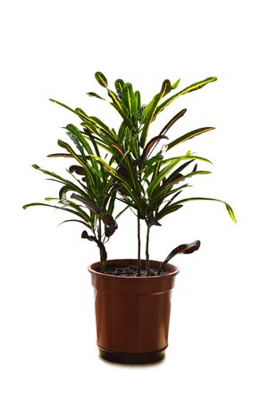 Croton plant in flower pot isolated on white background Stock Photo