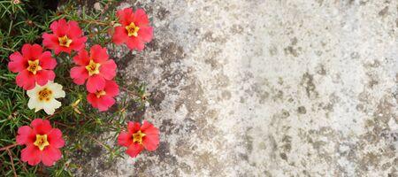 Moss roses (Portulaca flowers) against concrete background