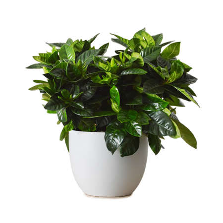 Gardenia plant in flowerpot isolated on white background. Cape Jasmine. The Gardenia Jasminoides