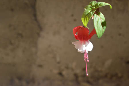 Branch of fuchsia hybrid flower plant. Ladies eardrop fuchsia flower against concrete wall