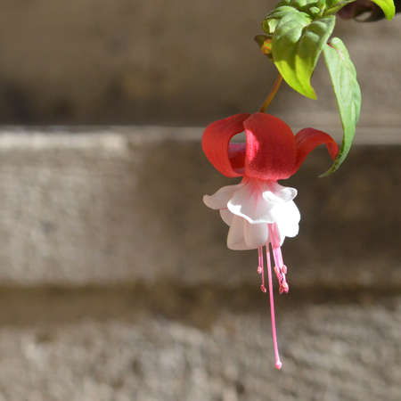 Branch of fuchsia flower plant. Ladies eardrop fuchsia flower against concrete wall
