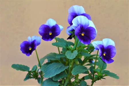 Bunch of blue pansy flowers