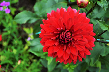 Close up of red dahlia in the garden Banco de Imagens