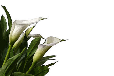 White calla lily bouquet illustration isolated on white background
