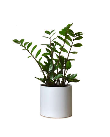 Zamioculcas zamiifolia plant in pot isolated on white background