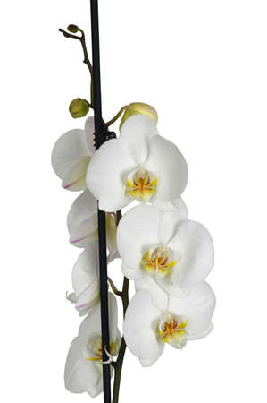 White orchid isolated on white background Imagens
