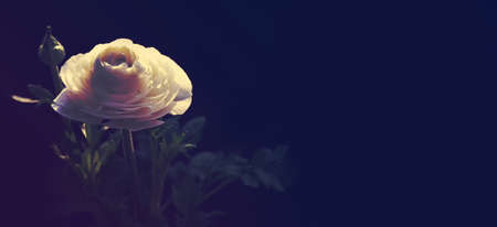 White ranunculus (Persian buttercup) on dark blue background with copy space