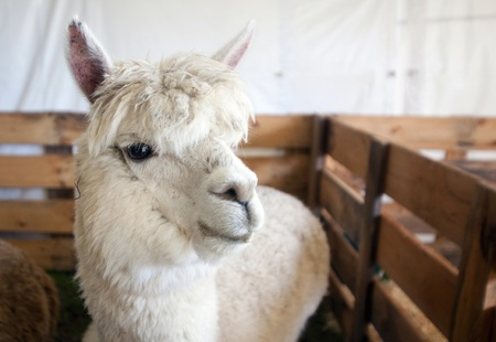 A lovely white alpaca in a wooden enclosure.