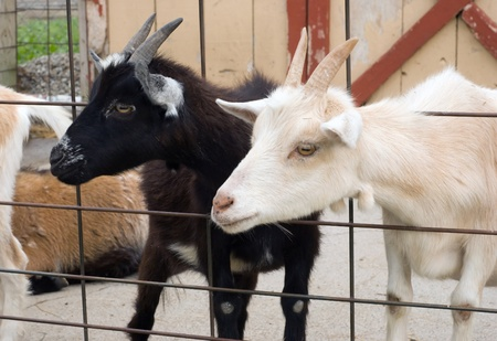 fenced in: Two goats in a fenced in area. One is black and the other is white. Stock Photo