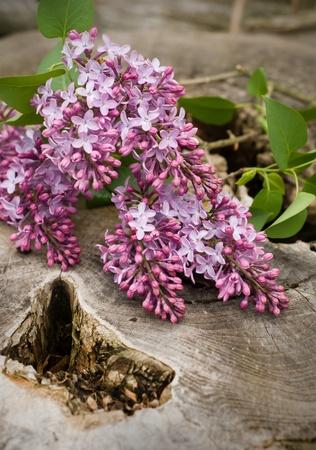 Lilacs resting on a cut down tree stump. photo
