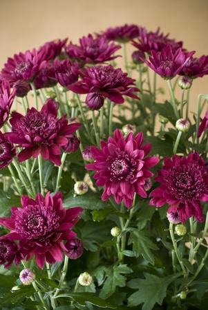 bouquet of beautiful pink chrysanthemums photo