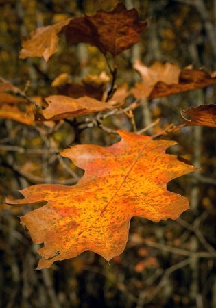 A dying orange leaf in autumn surrounded by brown brush. Stock Photo - 8774302