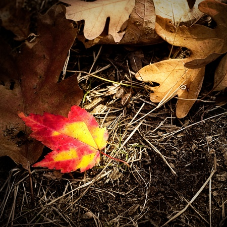 One bright red an yellow autumn leaf surrounded by brown, dead leaves on the ground. Stock Photo - 8774305