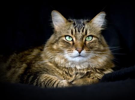 검은 배경에 잘 생긴 성인 메인 coon 고양이입니다. 스톡 콘텐츠