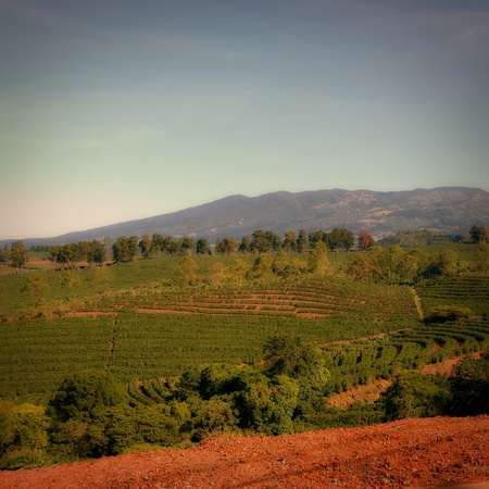 A coffee plantation in Costa Rica with mountains in the background.